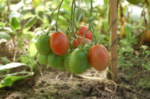 pomidory uprawa tunel foliowy