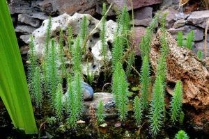 skalniak rośliny ogród
